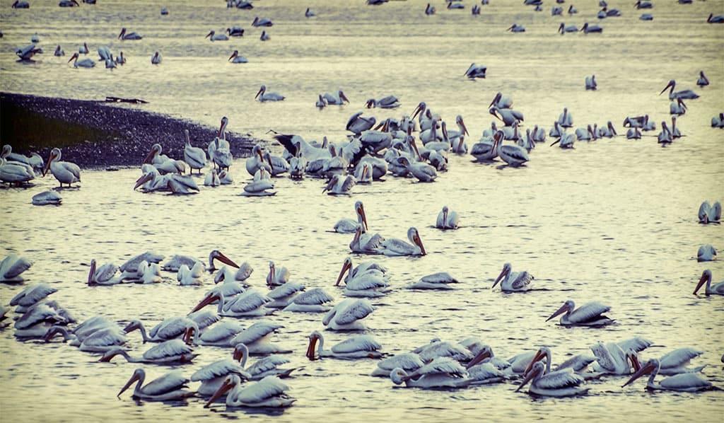 Pelicans in Kansas?