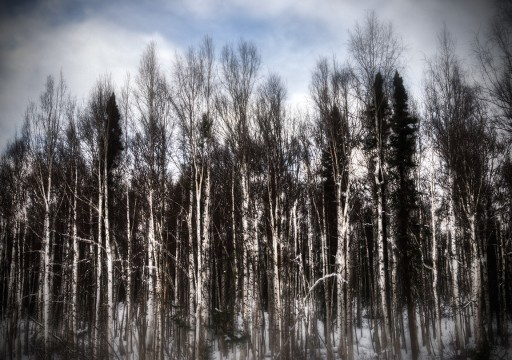 Birch-Trees-1