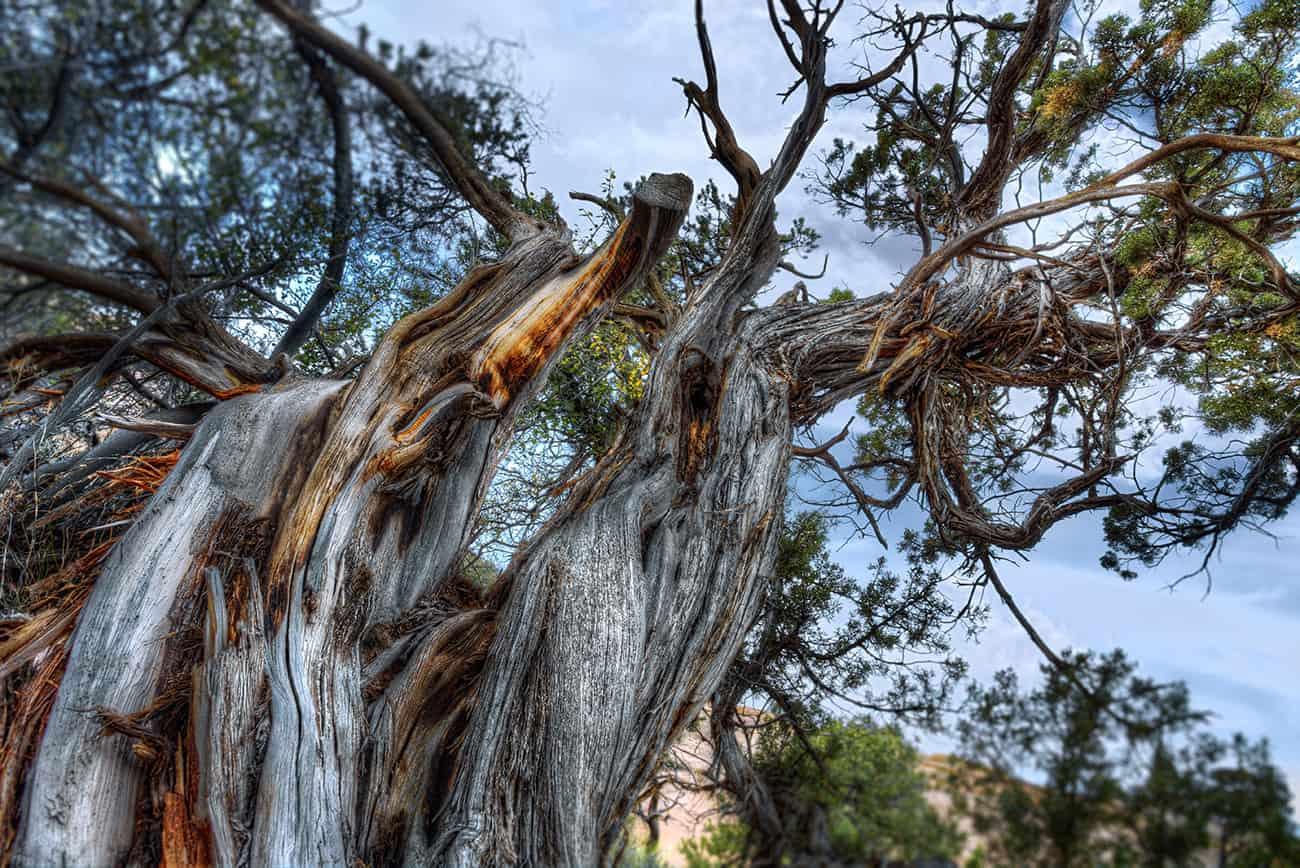 Curled-Tree2