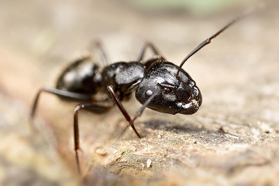 Macro Ant 5x Life Size